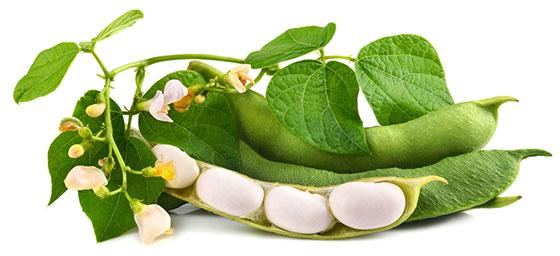 Bean Leaves