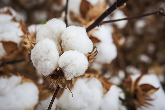 Pima Cotton