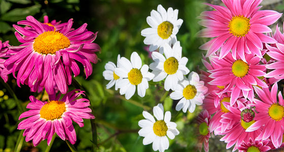 Pyrethrum Extract